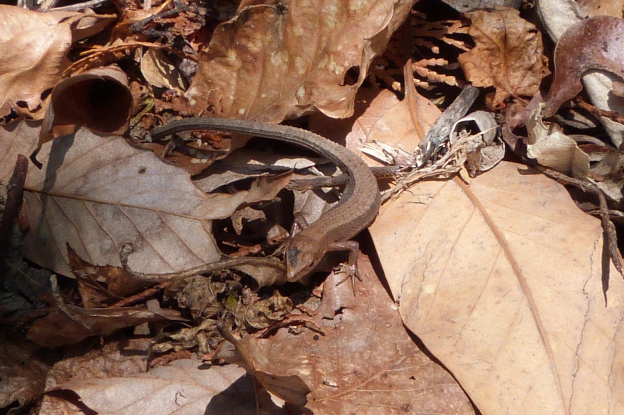 カナヘビ(ニホンカナヘビ)3