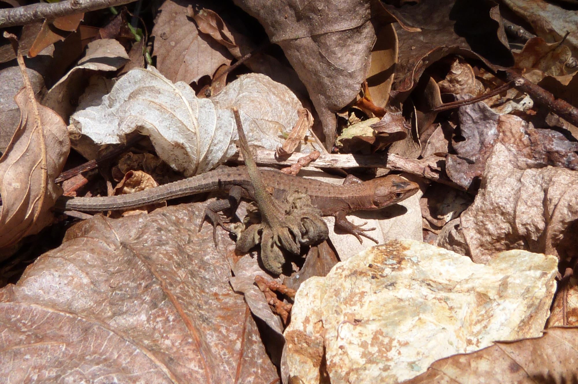 カナヘビ(ニホンカナヘビ)5