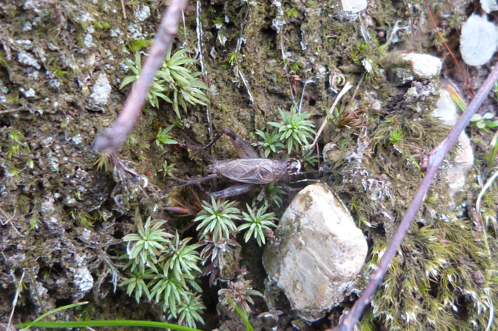 モリオカメコオロギ